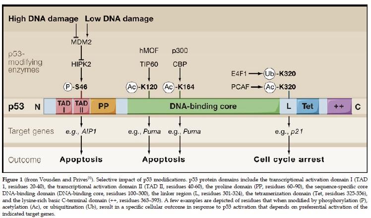 The p53 Gene and Cancer Development - DrJockers.com