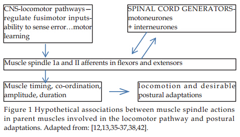 Muscle Spindles And Locomotor Control An Unrecognized Falls